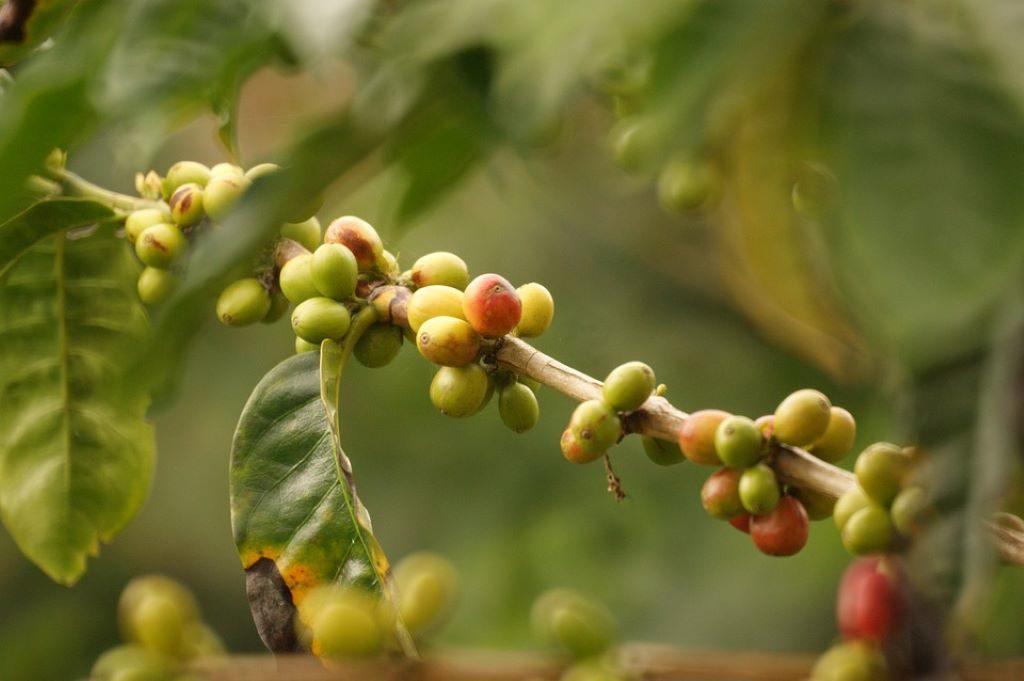 Kaffeepflanze mit unreifen kolumbianischen Kaffeebohnen