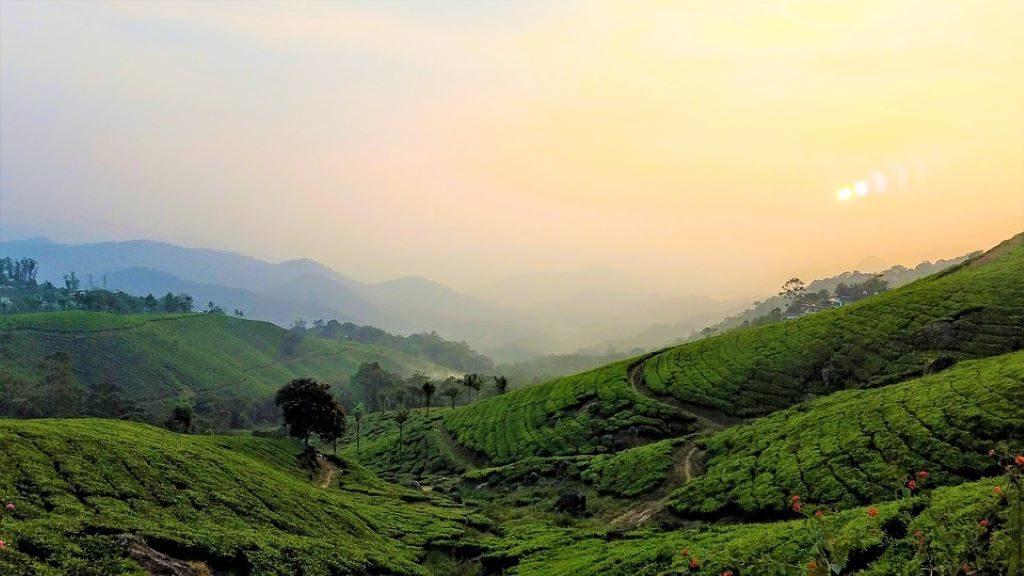 Teepflanzen Plantage