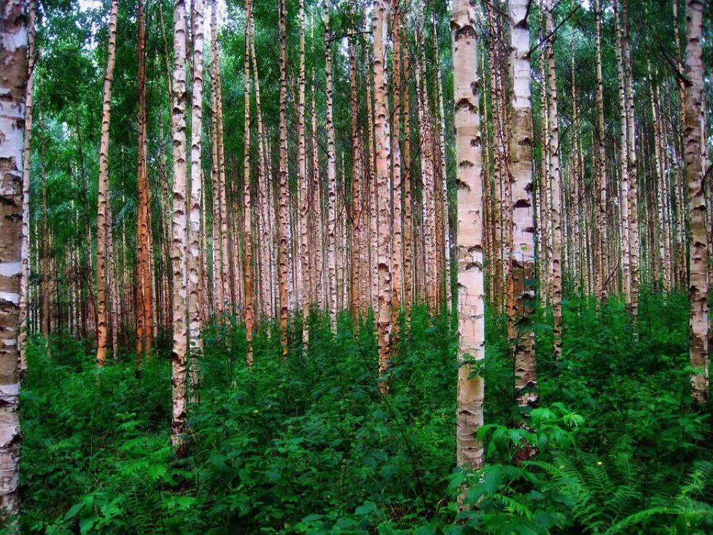 Ein Birkenwald