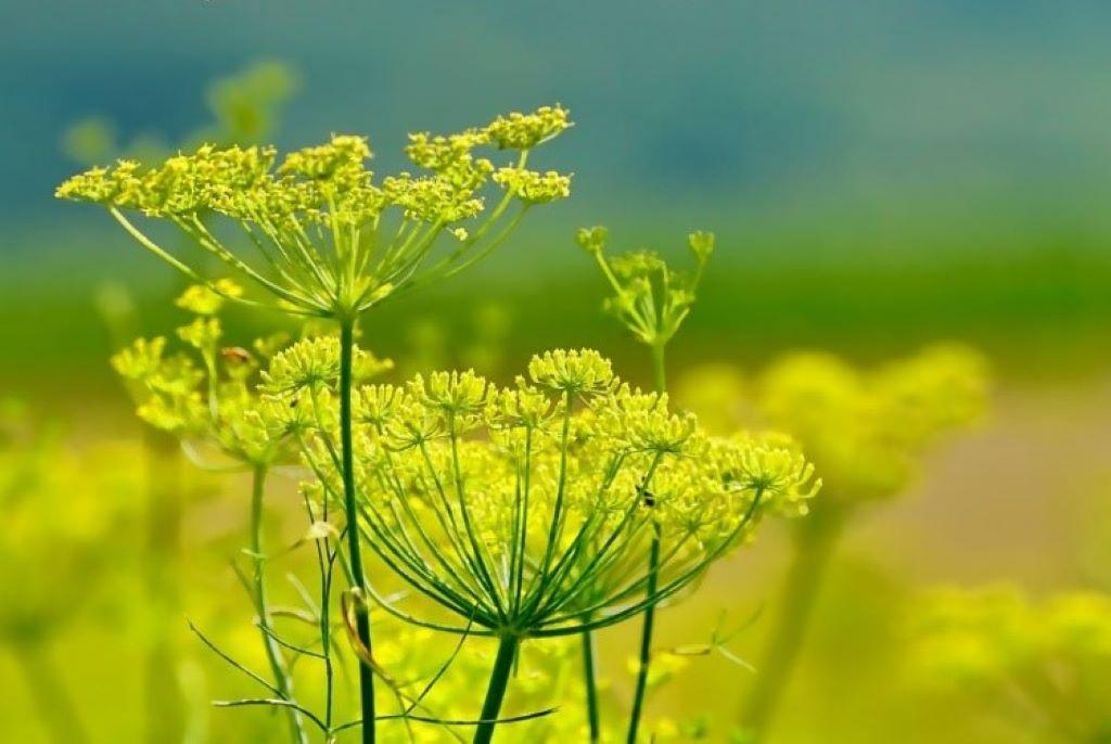 Fenchelpflanze